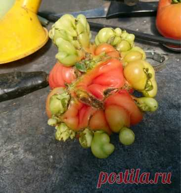 Почему растут уродливые помидоры?   Садовичок   Яндекс Дзен