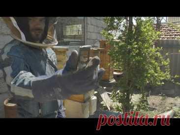 Пересаживаю рой пчел в Японско-Альпийский улей