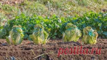 Что посеять и посадить в огороде в августе   Все о грядках (Огород.ru)