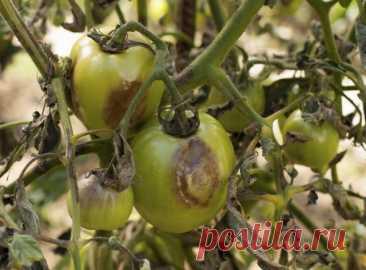 Можно ли собирать семена томатов с кустов, которые болели фитофторозом   Томаты (Огород.ru)