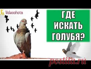 Где искать голубя на охоте? Videoohota