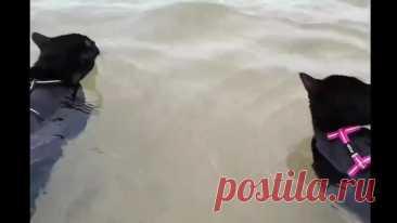 Два черных кота любят вместе плавать))))