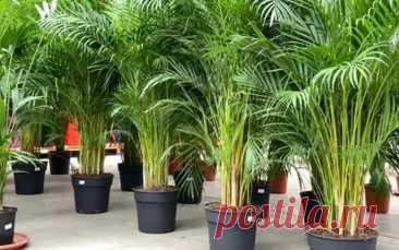 Пальма Арека (Хризалидокарпус) | Мир растений