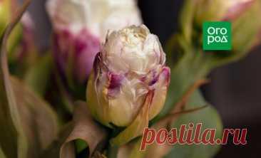 Тюльпаны низкие и уродливые – что случилось? | В цветнике (Огород.ru)