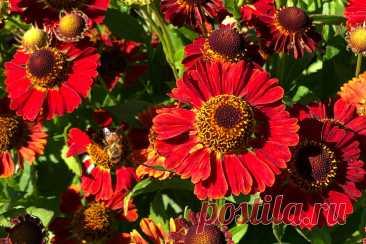 Гелениум — современные сорта и их использование в дизайне сада. Фото — Ботаничка.ru