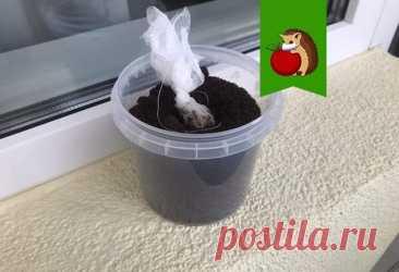 Что сделать, чтобы петрушка быстрее взошла и не сидела долго в почве Петрушка — достаточно холодостойкое растение, а потому высеивать эту зелень можно уже... Читай дальше на сайте. Жми подробнее ➡