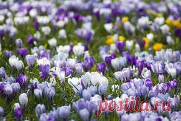 Крокусы - посадка и уход Крокусы - красивые первоцветы, которые одними из первых радуют своим цветением. Зачастую уход сводится к своевременному поливу и периодическому рыхлению почвы.