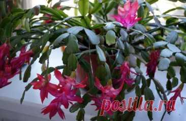 Уход за декабристом: 5 ошибок, которые могут погубить цветок Selo.Guru — интернет портал о сельском хозяйстве