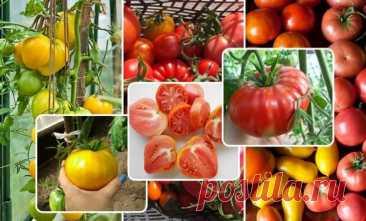 Настоящие баталии развернулись в ходе голосования за самые урожайные сорта помидоров, которые наши читатели вырастили на своих грядках. Оценивали по разным критериям – от морозоустойчивости и лежкости, до вкусовых и засолочных качеств. Томатоводы-любители в соцсети Facebook отдавали свои голоса за
