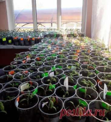 Схема подкормки томатов от рассады до сбора урожая. | Огородник из Рязани | Яндекс Дзен