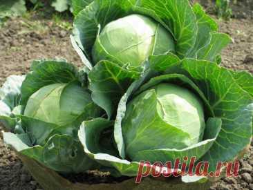 Капуста: посадка, выращивание в открытом грунте, особенности ухода, сроки, как высаживать капусту, как правильно сажать, через рассаду и семенами, фото