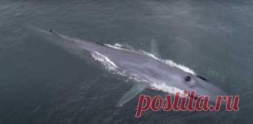 Флю, гибридный кит • Ольга Филатова • Научная картинка дня на «Элементах» • Зоология