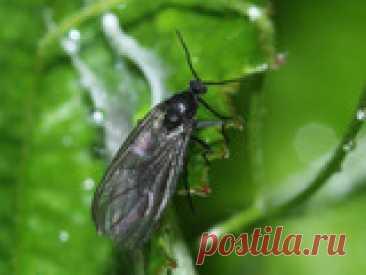 Как избавиться от почвенных мушек на рассаде? Почвенные мушки – частые гостьи на комнатных растениях, однако время от времени они не гнушаются и рассадой, и, надо заметить, молоденькие сеянцы порой достаточно сильно страдают от подобных нашествий! При этом надземным частям растений почвенные мушки практически не вредят – основным объектом их интереса являются корни. А повреждение корешков рассады, особенно если рассада еще неокрепшая, нередко влечет за собой замедление рос...