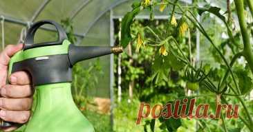 Чем опрыскать помидоры от фитофторы, если на них уже завязи и цветы Узнайте, как победить фитофтору и в дальнейшем не допускать ее появления на своем участке.
