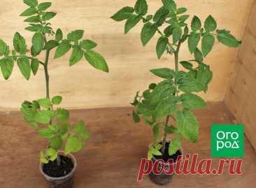 Два корня, один стебель: что дает прививка томатов Один корень – это хорошо, а два – еще лучше! Не секрет, что хорошо развитая корневая система способствует повышению урожайности. Если у вас есть лишняя рассада помидоров, попробуйте соединить два куст...