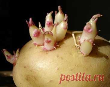 Как уберечь картофель от прорастания?