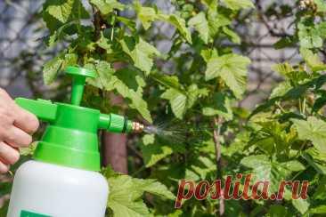 Польза соды для увеличения плодоношения смородины | Азбука огородника | Яндекс Дзен