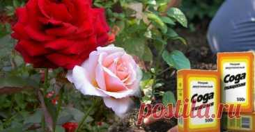 Щоб омолодити кущ троянди, потрібно всього пару ложок соди. Як правильно це робити Троянда – це найпрекрасніша квітка у світі, нею прикрашають садівники свої садиби. А також, її саджають на клумбах у великих містах та містечках, красою яких ми милуємося ціле літо.    Але як і всі рослини, кущі троянд