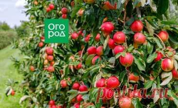 10 самых популярных летних сортов яблок | В саду (Огород.ru)