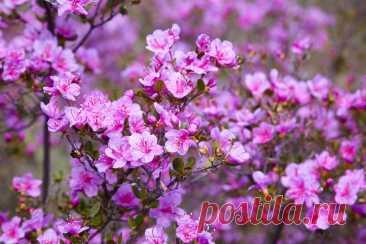Кустарники цветущие весной: фото, видео, описание, лучшие виды и сорта