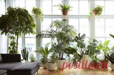 Большие комнатные растения: топ-30 с названиями и фото Большие комнатные растения в последние годы в моде, их активно используют в дизайне интерьеров. Некоторые считают, что лучше иметь один крупный домашний цветок, чем много мелких.