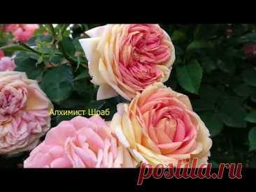 Розы цветут. Жара время черной пятнистости и ржавчины. Что делать?
