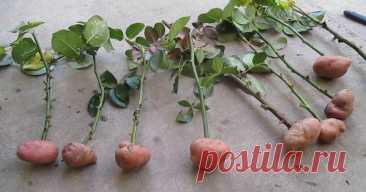 Como criar la rosa en las patatas