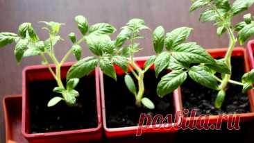 Чего нельзя делать при выращивании помидоров Чего нельзя делать при выращивании помидоров 1. Жирная, хорошо удобренная органическими удобрениями... Читай дальше на сайте. Жми подробнее ➡