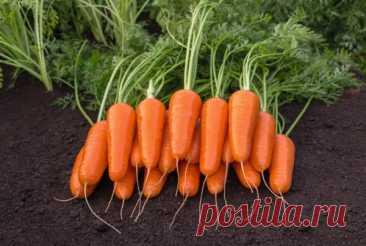25 лучших сортов моркови: самые сладкие и урожайные, их характеристики и фото Вы никак не можете определиться и выбрать сорт моркови, не так ли? Действительно, сейчас в продаже имеется такое количество различных сортов и гибридов (F1), производители которых на упаковках обещают урожайную, сочную и сладкую морковь, что попробуй выбери среди такого многообразия. Однако, вам в любом случае придется пойти опытным путем, иначе найти что-то подходящее попросту не […]