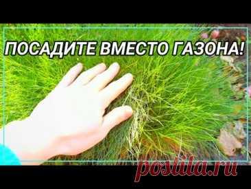 ПОСАДИТЕ ВМЕСТО ГАЗОНА! 7 лучших многолетников альтернатив газону.