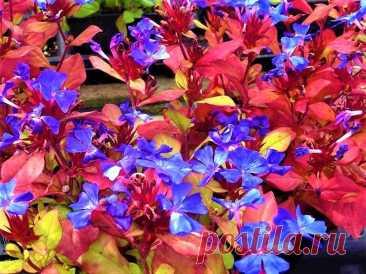 Вместо сорняков красивый густой ковер с синими цветами и алеющей листвой до самых морозов | GardenLife | Яндекс Дзен