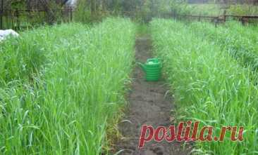 Посев овса как сидерата для улучшения плодородия почвы: когда сеять и скашивать Внесение органических удобрений является распространенным способом улучшить плодородие почвы, но он не единственный. Выращивание сидератов не менее эффективно. В качестве зеленого удобрения используют...