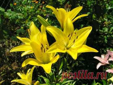 Секрет пышно цветущих лилий: пересаживаем правильно | Лайфхаки и полезные советы | Яндекс Дзен