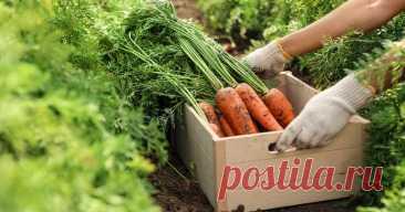 """Топ-8 самых сладких сортов моркови для соков, салатов и пирогов """"Сладка морковь, да в соседнем огороде"""". В нашей статье мы исправили эту досадную пословицу и рассказали о самых сладких сортах моркови."""