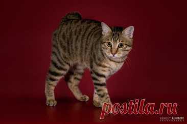 Курбобик — не собака с вредной привычкой, а короткохвостая кошка | Мой обожаемый кот | Яндекс Дзен