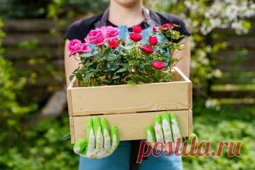 Миниатюрные контейнерные розы — как спасти и выращивать в саду? Описание сортов, фото — Ботаничка.ru