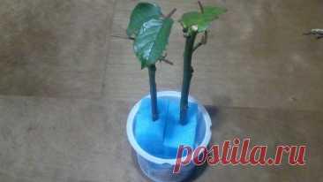Простой способ укоренить понравившуюся розу из букета при помощи кухонной губки