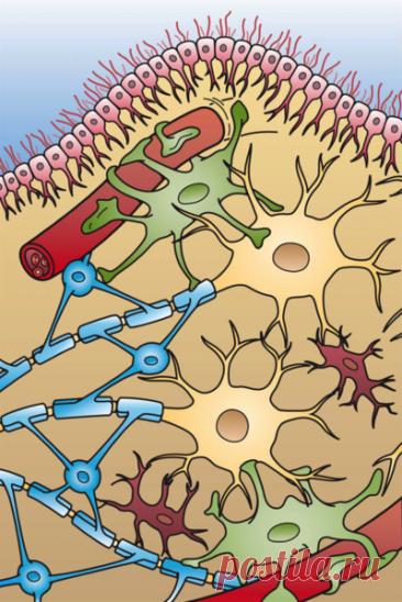 Правда ли, что нервные клетки человека не восстанавливаются? - Проверено.Медиа
