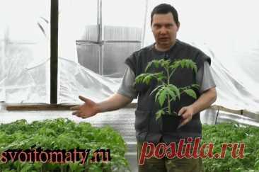 Простые приемы для раннего урожая томатов, да еще и с более крупными плодами | Огород - сад Медведевых | Яндекс Дзен