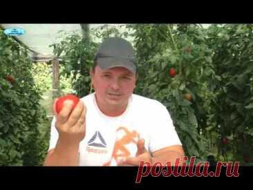 Томаты покраснеют быстро- все секреты ускоренного дозревания томатов на кусту!
