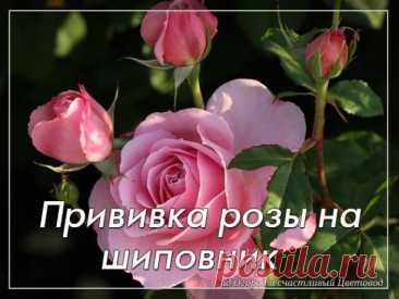 Прививка розы на шиповник  Одним из самых распространенных способов размножения роз является окулировка. Это прививка глазком (сформированной почкой) культурной розы на шиповник. Выбор шиповника в виде подвоя ускоряет рост побегов розы и повышает общую морозостойкость растения. Операция эта не так сложна, как кажется, но результат будет виден только на следующий год, когда почка тронется в рост.  Вам понадобится - здоровые молодые саженцы шиповника; - черенки для привоя с ...