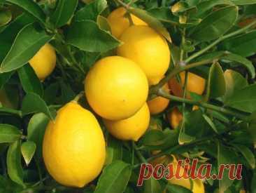 Как называется цитрусовый гибрид лимона и апельсина