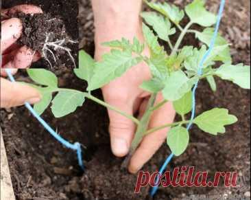 3 секрета, о которых забывают при выращивании рассады и теряют урожай   6 соток