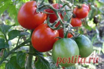 Помидоры никогда не станут крупными и сладкими, если не начнете применять эту хитрость - UssurMedia Опытные дачники рассказали, как собрать урожай вкусных и крупных томатов. Помидорным посадкам просто необходимо одно очень полезное удобрение. Иначе они будут плохо расти, а созревшие плоды будут невкусными и несладкими.