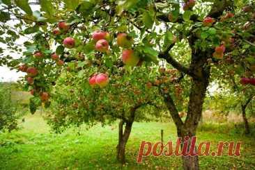 Чем подкармливать яблоню, чтобы собирать вкусный и здоровый урожай? | Жизнь и общество | Пульс Mail.ru