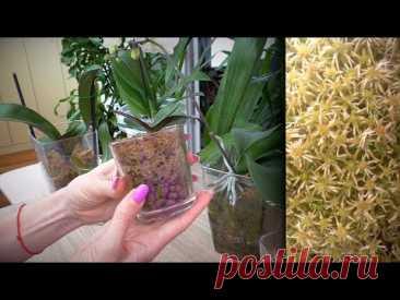 БЫСТРЫЙ способ нарастить КОРНИ орхидей! РЕЗУЛЬТАТЫ УДИВЛЯЮТ.