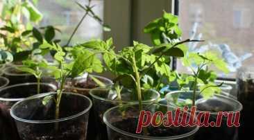 Рассада на подоконнике: особенности выращивания рассады с декабря по май | 6 соток
