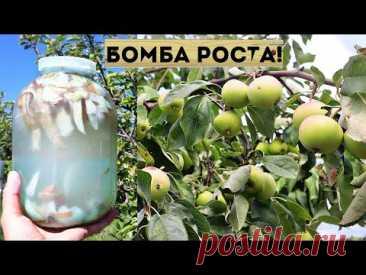 Лейте под яблоню в июне! Корни тут-же начнут впитывать эту вкуснятину!  Яблоки растут на глазах!