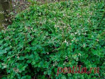 Лекарственное растение Подлесник европейский (Sanicula europaea). Многолетнее, только у верхушки немного ветвящееся травянистое растение высотой 20-60 см. Зимнезеленые прикорневые листья дланевидные, трех- или пятираздельные, сегменты клиновидные, крупнозубчатые и, в противоположность более простым, мелким и почти сидячим стеблевым листьям - длинноче-решковые. Белые или светло-розовые цветки сидячие или на цветоножках, собраны в головчатые плотные зонтички. Плод шарообразный до яйцевидного.
