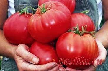 Как вырастить крупные помидоры